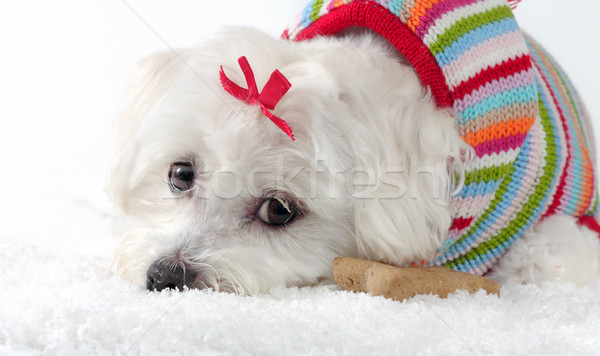 Puppy dog wearing a knitted jumper lying in snow Stock photo © lovleah