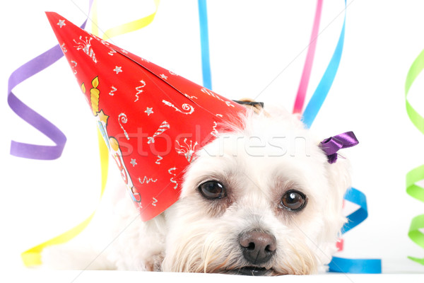 Celebration Party Pooch Stock photo © lovleah