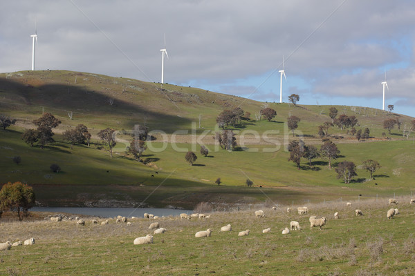 Sheep Grazing at Carcoar Wind farm Carcoar Stock photo © lovleah