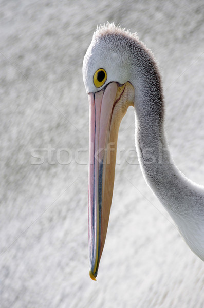 pelican Stock photo © luapvision