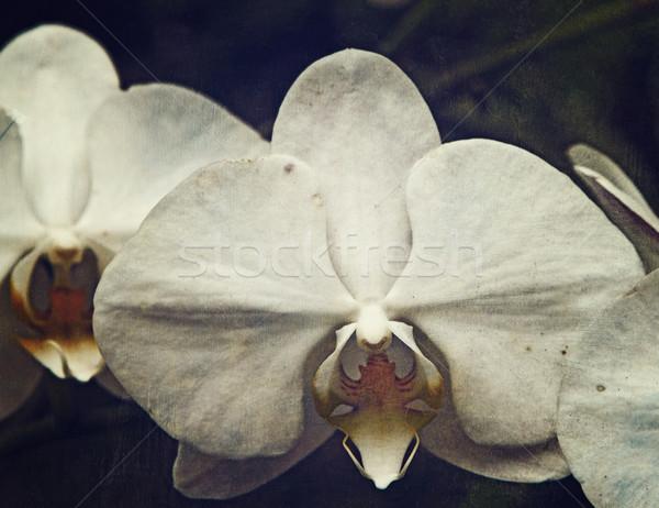 Vintage орхидеи свежие белый Гранж Сток-фото © lubavnel