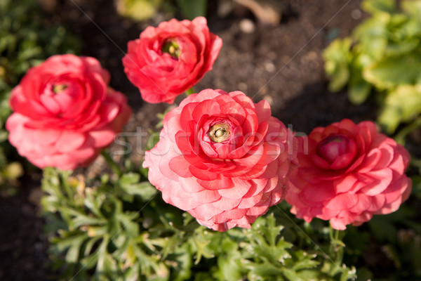 soft red poppies Stock photo © lubavnel