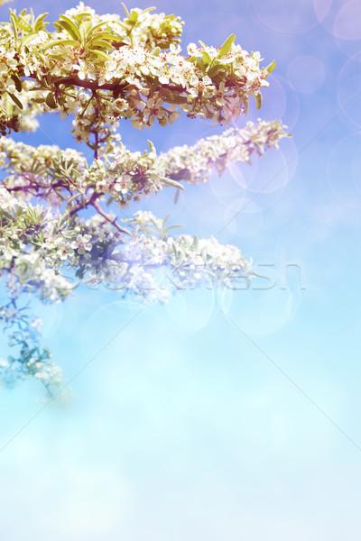 árvore frutífera flores flores brancas cópia espaço bokeh Foto stock © lubavnel