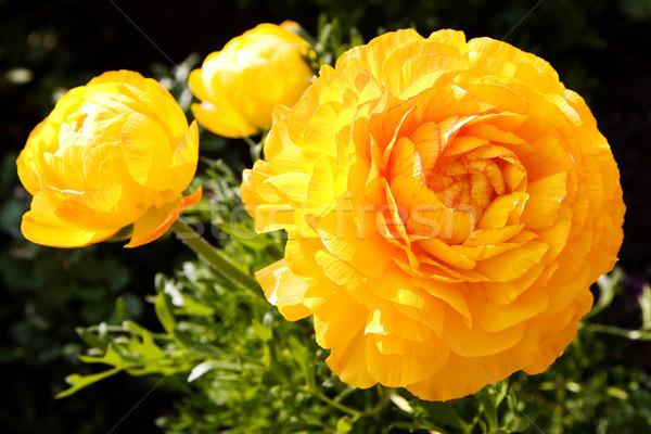 Stock photo: yellow poppies