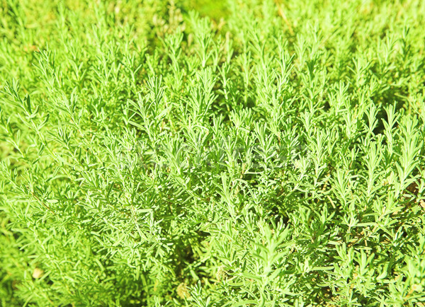 Green grass  Stock photo © lubavnel