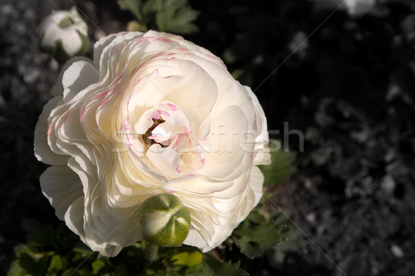 white poppy with pink Stock photo © lubavnel