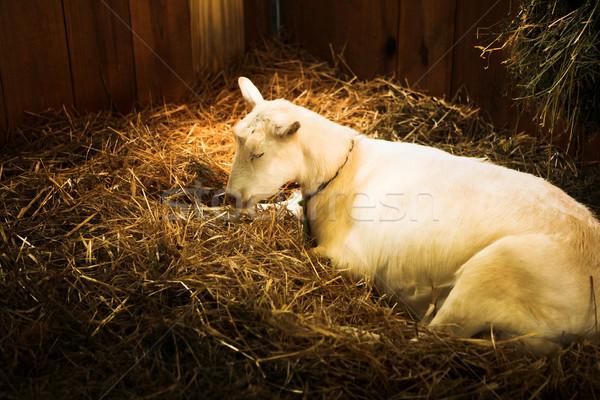 Sleeping white she goat Stock photo © lubavnel
