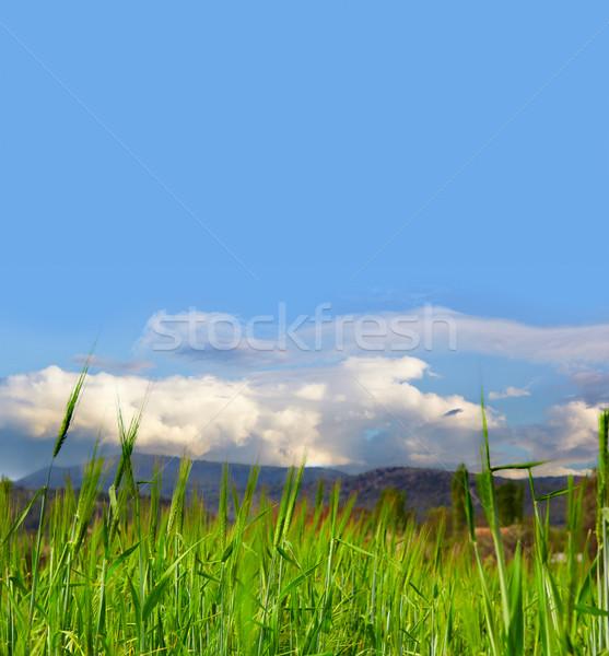 Grasveld mooie gerst laag wolken ruimte Stockfoto © lubavnel
