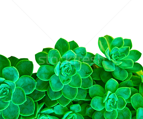 green succulent plant on white Stock photo © lubavnel