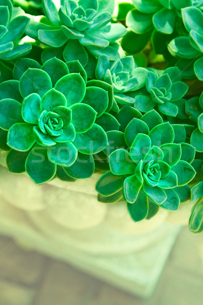 Vert succulent plantes poule poussins Photo stock © lubavnel