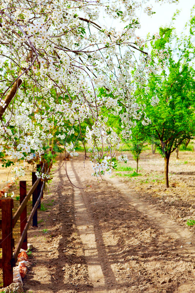 Kirazli cherry blloming Stock photo © lubavnel