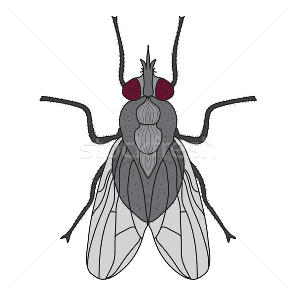 Fly insect. Fly isolated on white background. Vector illustration Stock photo © lucia_fox