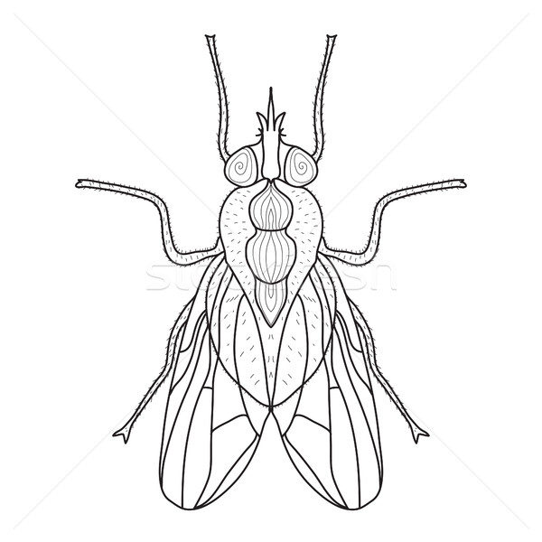 Fly insect sketch, doodle style. Line art. Vector illustration Stock photo © lucia_fox