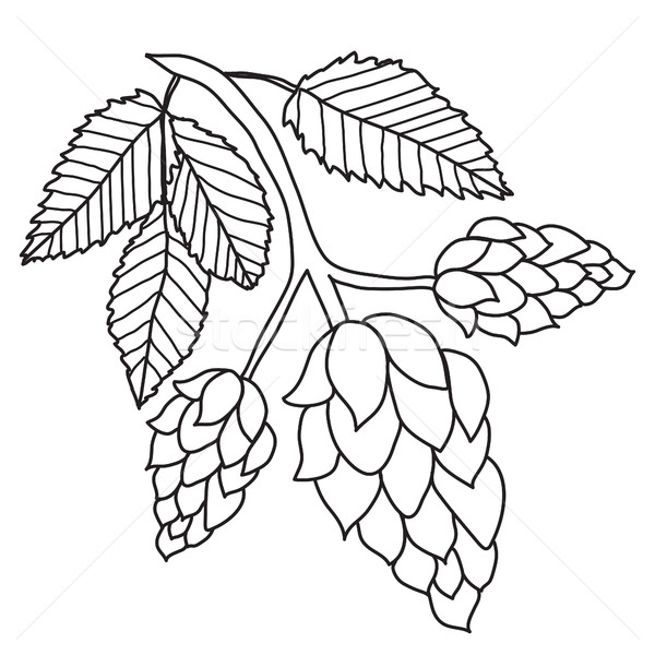 Hops plant black and white images isolated on white background, hand drawing style. Vector illustrat Stock photo © lucia_fox