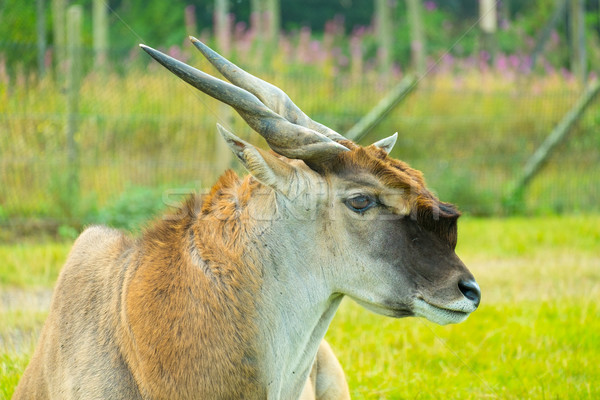 Portrait of a Common Eland Stock photo © lucielang
