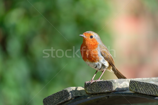 Single Robin on a park bench. Stock photo © lucielang