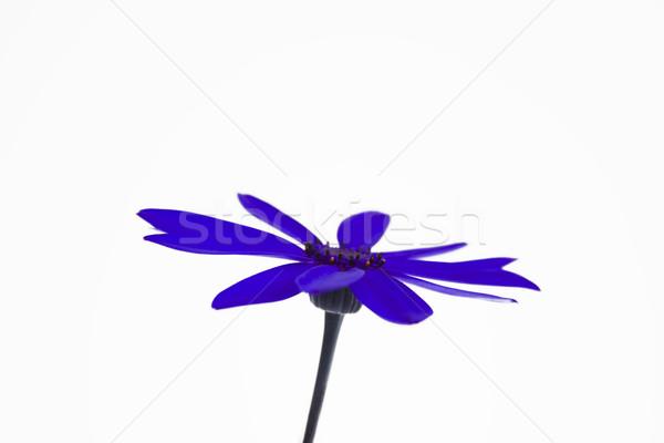 Deep blue senetti flower Stock photo © lucielang