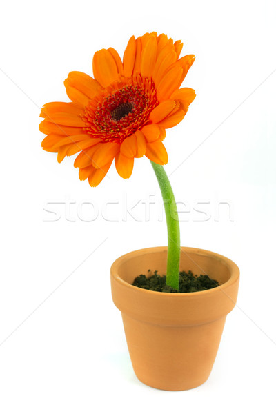Orange gerbera flower in a terracotta pot Stock photo © lucielang