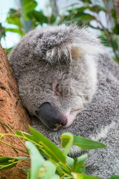 Koala sleeping in a tree Stock photo © lucielang