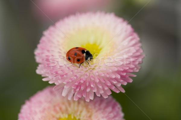 Katicabogár rózsaszín virág tavasz nyár rózsaszín rovar Stock fotó © lucielang