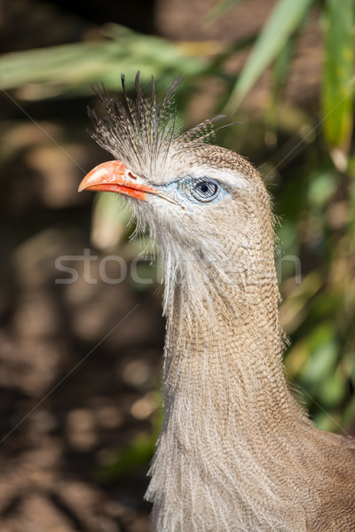 Close up of a red legged seriema. Stock photo © lucielang