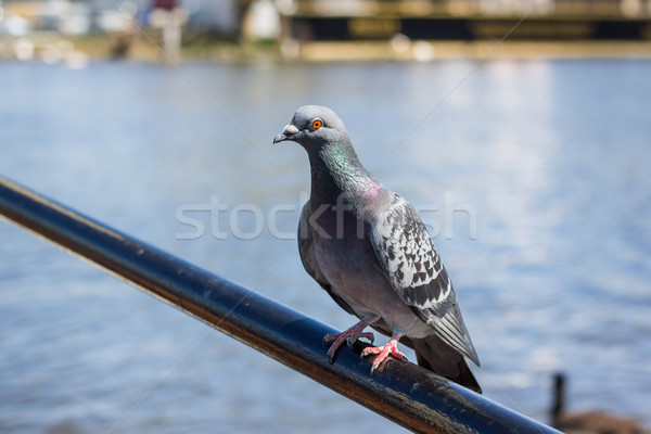 Single pigeon sitting on a bar Stock photo © lucielang