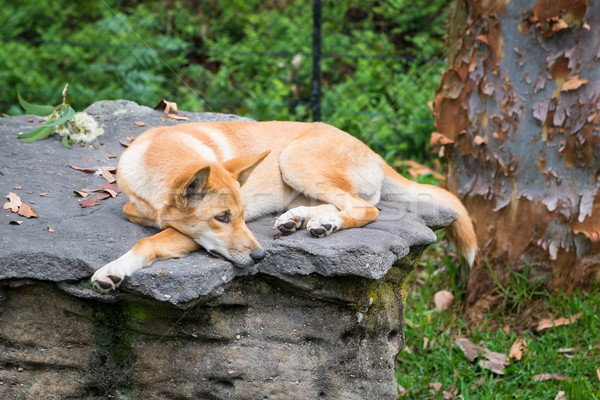 A dingo laying on a rock Stock photo © lucielang