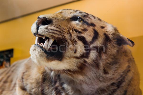 Tigre taxidermia ver cabeça África animais Foto stock © lucielang