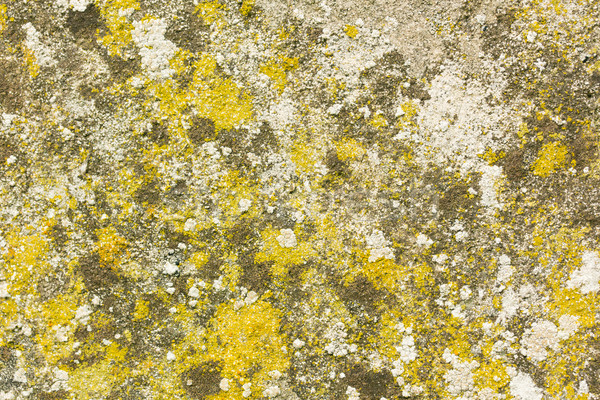 Concrete wall covered in fungus, moss and lichens Stock photo © lucielang