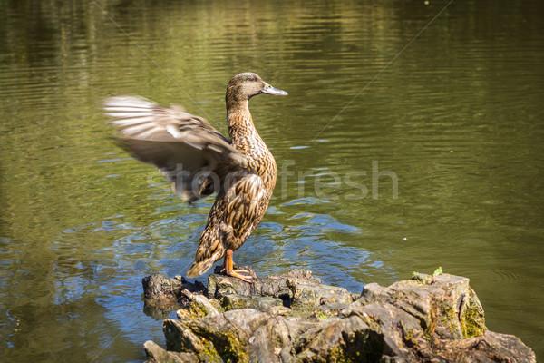 Eend vleugels permanente boom natuur meer Stockfoto © lucielang