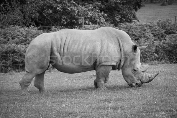 Side view of a white rhinoceros. Stock photo © lucielang