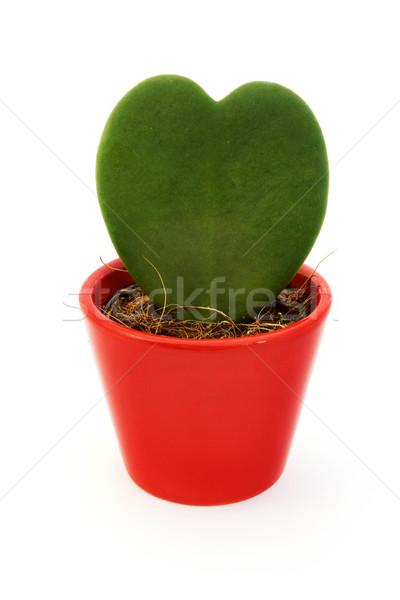Foto stock: Coração · planta · vermelho · pote · branco