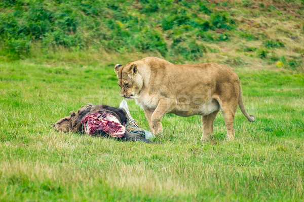 Feeding lioness. Stock photo © lucielang