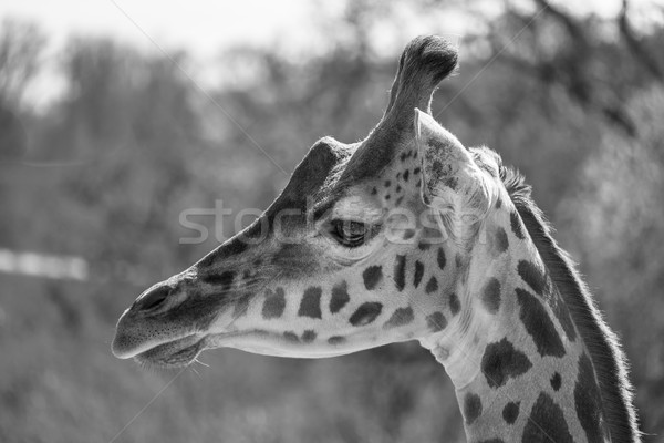 Portrait of a giraffe in black and white. Stock photo © lucielang