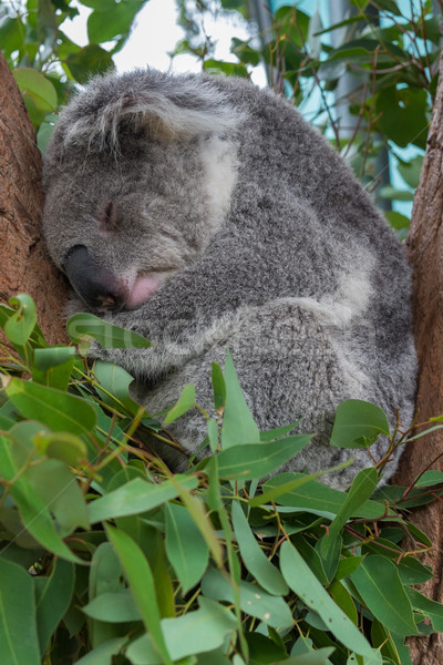 A sleeping koala sitting in a tree Stock photo © lucielang