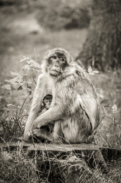 Mother and baby Barbary Macaque monkey. Stock photo © lucielang
