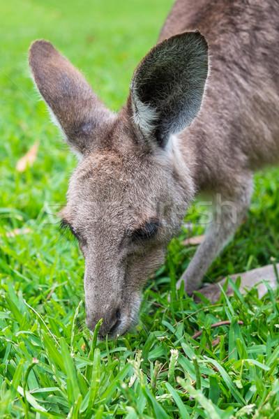 Gri cangur mananca iarbă tineri Imagine de stoc © lucielang