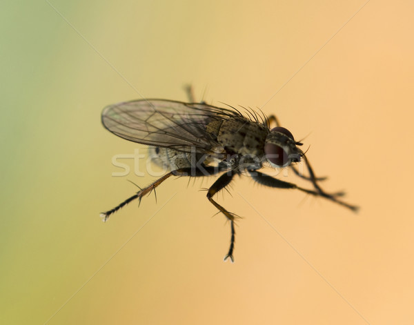 Macro of a fly Stock photo © lucielang