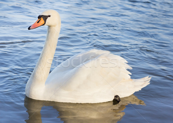 Single white swan on the water Stock photo © lucielang