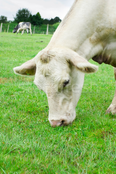 White cow eating grass Stock photo © lucielang