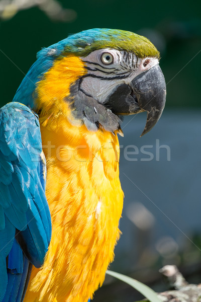 Close up of a Hyacinth Macaw. Stock photo © lucielang