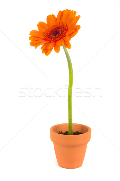 Orange gerbera flower in a terracotta pot Stock photo © lucielang