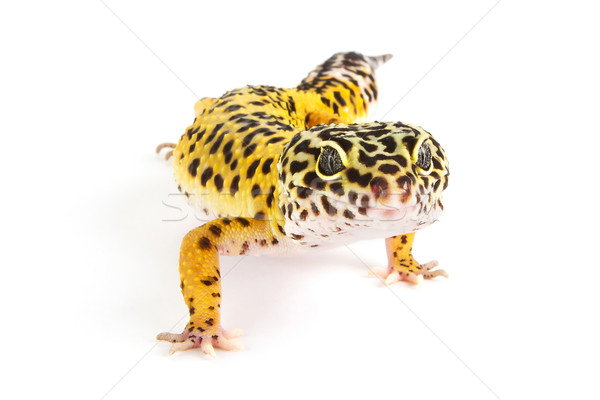 Leopard gecko on white Stock photo © lucielang