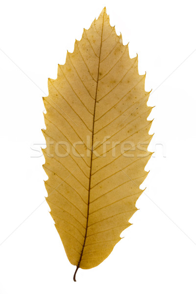Dry brown leaf over white Stock photo © lucielang