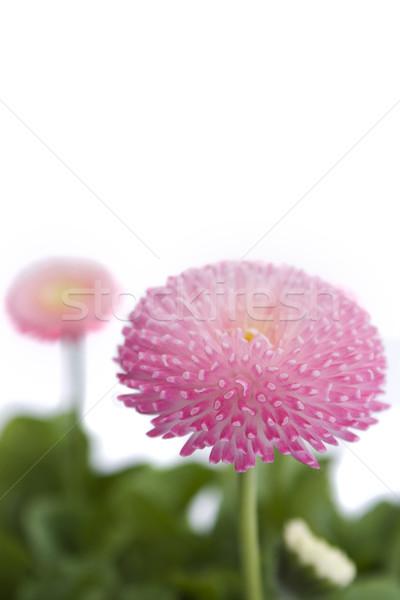 Flor rosa blanco belleza hojas rosa hermosa Foto stock © lucielang