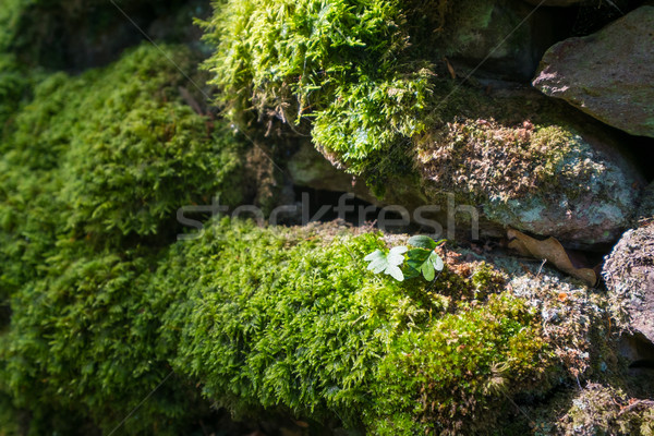 Moss lit by sunlight on a dry stone wall. Stock photo © lucielang