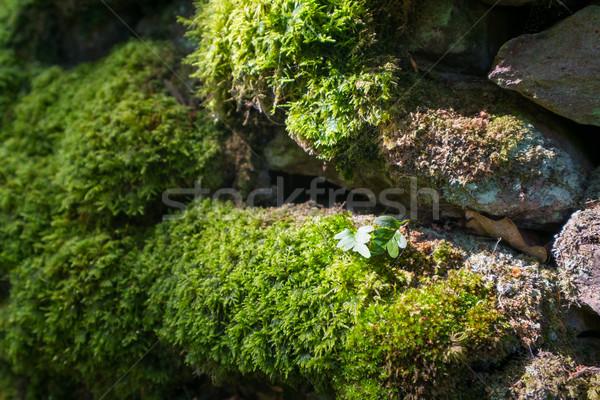 Mos zonlicht drogen stenen muur bladeren natuur Stockfoto © lucielang
