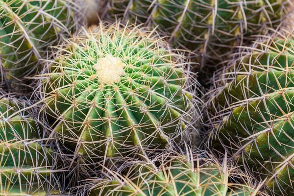 Closeup of globe shaped cactus  Stock photo © luckyraccoon
