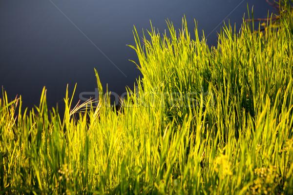 Grass in morning sunlight - background. Stock photo © luckyraccoon