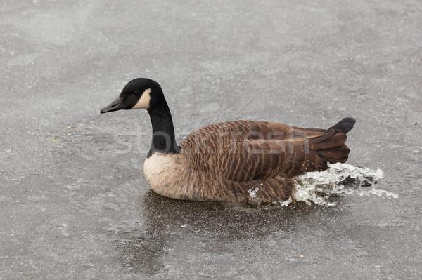 Wild duck  Stock photo © luckyraccoon